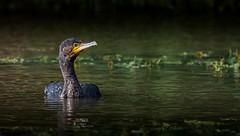 Cormorant. (Jez Nunn) Tags: birdscormorantnaturewildlifewaterreflection