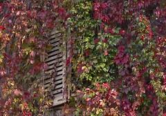 change (Paolo Dell'Angelo (JourneyToItaly)) Tags: friuliveneziagiulia italia red autumn gorizia viteamericana parthenocissusquinquefolia