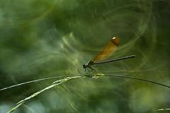 Reposando (Juan J. Marqués) Tags: libelulas verde insectos aliaga
