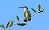 Hummingbird (Shutter_Hand) Tags: texas usa miguelmendozamuñoz clarkgardens botanicalpark weatherford mineralwells secretgarden parquebotánico jardinbotánico botanico jardin jardinsecreto texasgem texasjewel sony alpha a77 sonyalphaa77 slta77v sonyaf70400mmf456gssm sal70400g lenscraft hummingbird colibri chupaflor ave bird pájaro 鳥 oiseau पक्षी 鸟类 vogel aus pássaro pajaro uccello птица