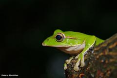 DSC_6388 (Albert-Chen) Tags: 新店 烏來 四崁水 翡翠水庫 樹蛙 赤蛙 青蛙 微距攝影 frog d700 nikon 生態