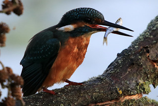Female Kingfisher (Alcedo Atthis) with Fish