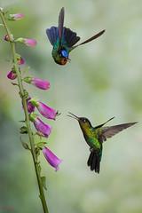 Fiery-throated Hummingbirds (Chris Jimenez Nature Photo) Tags: birding endemic insignis cerro de rica la hummingbirds wild fierythroated nature action muerte life costa flight chris hummingbird panterpe birds jimenez