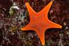 Vermillion Star (Mediaster aequalis) (jonmcclintock) Tags: underwater sunshinecoast travel britishcolumbia canada adventure scuba diving strongwater