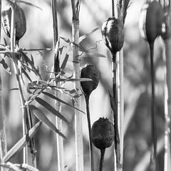 Seed capsuels (Mona_Oslo) Tags: blackandwhite svartvit svarthvitt monochrome seed seeds seedcapsuels flowers flowerbed tjuvholmen monajohansson urbannature