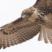 Wildcat Red-tailed Hawk-5965