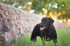 43/52 Nemo (- Una -) Tags: 52weeksfordogs nemo curly curlycoatedretriever ccr retriever curlydog dog animal blackdog blackcurlycoatedretriever