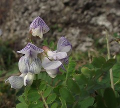 Vicia sylvatica (Wood Vetch) flowers, St Cyrus NNR, Aberdeenshire, 17.10.17 (respect_all_plants) Tags: woodvetch viciasylvatica stcyrus nationalnaturereserve aberdeenshire wildflowers