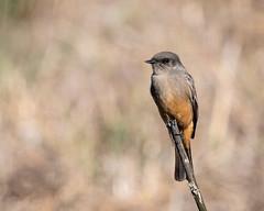 Say's Phoebe (Becky Matsubara) Tags: bird birds california eastbayregionalparks flycatcher phoebe pointpinole pointpinoleregionalshoreline ptpinole saysphoebe sayornissaya saph