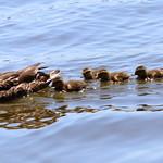 Mamaduck & Ducklings thumbnail