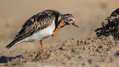 Turnstone (cliveyjones) Tags: turnstone wader shorebirds holmedunes norfolk