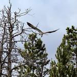 Osprey Over Shadow Mountain Lake thumbnail