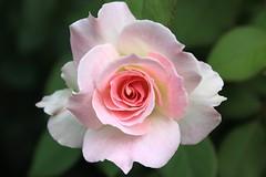 Rosa  de verano en Villa Ocampo - Summer rose (Ce Rey) Tags: closeup rose roses flowers 7dwf flickrchallengegroup flickrchallengewinner pink flora nature cerey 15challengeswinner