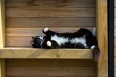 Lucy (Explored) (hehaden) Tags: cat kitty blackandwhite tuxedo semilonghair lying shelf wood wooden garden