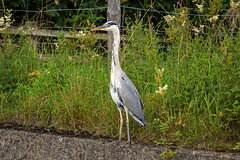 Heron on the Leeds and Liverpool Canal (Tom Patterson) Tags: heron bird birds birdwatching canal water skipton