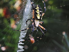 Arachtober: Argiope aurantia (Hayseed52) Tags: arachtober spider arachnid nature orbweaver ladybug web writing yellow