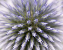 Global (dog ma) Tags: purple flower globe thistle dogma nikon d750 nikkor 105mm