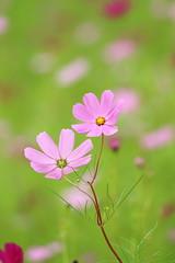 cosmos (* Yumi *) Tags: cosmos flower コスモス