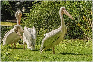 St.James Park  … the pelicans (  almost nice ) ...