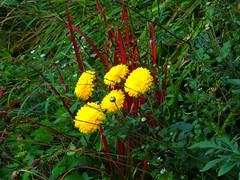 Chrysantheme vor Imperata (Sophia-Fatima) Tags: mygarden meingarten naturgarten gardening chrysantheme imperata