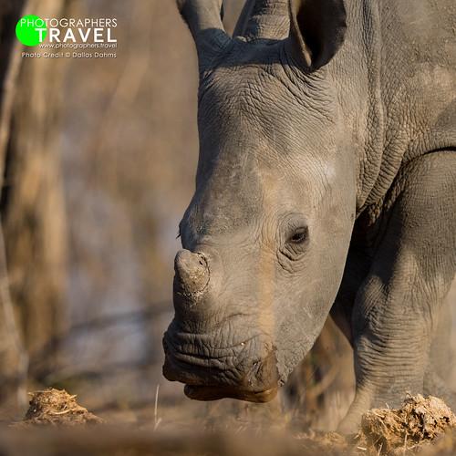 Rhino Cub - Sabi Sabi 2016