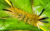 Tussock  Caterpillar (ScreaminScott) Tags: caterpillar beechleaf insect