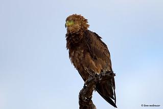 Bateleur Eagle (J)