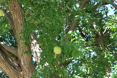 Monkey ball tree (cynthiarobb) Tags: