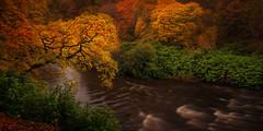 The Crooked Oak (Adam West Photography) Tags: adamwest autumn countryside crooked dawsholm glasgow kelvin landscape longexposure nature oak river scotland timelapse trees uk wild color colors colour colours fall leaves orange