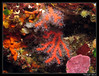Corail rouge (Corallium rubrum) (cquintin) Tags: cnidaria octocorallia alcyonaria gorgonacea coralliidae corallium rubrum corail