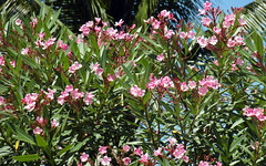 mauritius oleanders (kexi) Tags: mauritius ilemaurice flowers africa oleanders many pink branches tropical nature samsung wb690 bloom blooming september 2016 green garden instantfave twigs