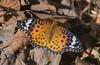 Autumn Fritillary (mishko2007) Tags: indianfritillary argyreushyperbius korea 105mmf28