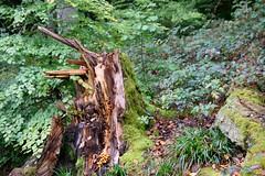 Baumstumpf (reipa59) Tags: pilze verfaulen verfall moos baumstumpf eiswoog ramsen rheinlandpfalz
