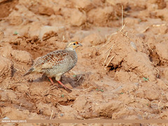 Grey Francolin (Francolinus pondicerianus) (gilgit2) Tags: avifauna birds canon canoneos7dmarkii category fauna feathers geotagged greyfrancolinfrancolinuspondicerianus imranshah islamabad location pakistan rawallake species tags tamron tamronsp150600mmf563divcusd wildlife wings gilgit2 francolinuspondicerianus