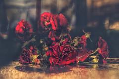 End of the Season (Paul B0udreau) Tags: nikkor50mm18 canada ontario paulboudreauphotography niagara d5100 nikon nikond5100 raw flowers blur roses table rain red night longexposure photoshop
