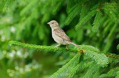 Young sparrow (Jurek.P) Tags: birds bird wróbel sparrow ptaki ptak mazury masuria poland polska nature jurekp sonya77