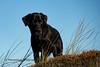 Buddy (Flemming Andersen) Tags: labrador pet nature dog black outdoor grass buddy hund animal bedstedthy northdenmarkregion denmark dk