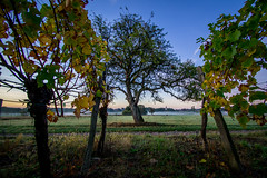Brume et lever de soleil dans le vignoble (Schneider Vincent) Tags: leverdesoleil hartmannswiller visitgueb sunrise tree nature naturelovers alsace visitalsace automne autumn welovealsace river brume arbre matin mornings morningsun walk field guebwiller ollwiller pelouse ciel champ vignoble vignes drinkalsace