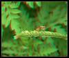 Where's the Dung?Fly - Anaglyph 3D (DarkOnus) Tags: pennsylvania buckscounty panasonic lumix dmcfz35 3d stereogram stereography stereo darkonus closeup macro insect dungfly dung scathophaga stercoraria yellow anaglyph
