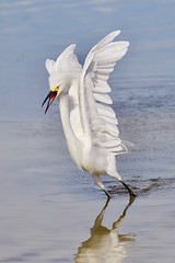 Snowy Egret Wings Up and Mad (dbadair) Tags: outdoor seaside shore sea sky water nature wildlife 7dm2 gulf bird desoto snowy egret fishing