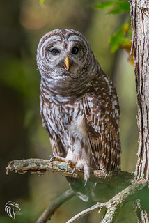 Barred Owls of New Jersey | 2017 -11