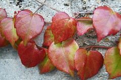 Couleurs d'automne / Autumn colors (Explore 14 oct 2017) (.Steph) Tags: feuille lierre leaf ivy vegetal automne plante