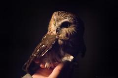 Northern Saw Whet Owl-1649 (NicoleW0000) Tags: northernsawwhetowl owls nature wildlife photography ontario birdmigration fall birdbanding prince edward point