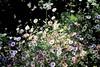 Daisy Daisy! (maginoz1) Tags: abstract flowers daisy roses flora curves manipulate spring 2017 october bulla melbourne victoria australia alistairclarkmemorialgarden canon g3x