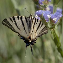 Drôle de zèbre * (Titole) Tags: papillon flambé titole nicolefaton squareformat butterfly