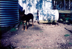 Doggy Tin Hobo (55pmh) Tags: 1996 1993 1994 1995 1997 1998 1999 35mm film retro snapshots southern highlands national park nationalpark nsw wombeyan caves wombeyancaves maresforestroad old richlands taralga 1988 1989 1990 1991 1992 maresforestnationalpark maresforest southernhighlands newsouthwales kelpie oldphoto