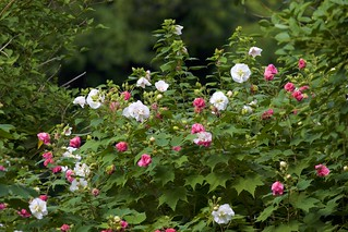 Hibiscus mutabilis cv. Versicolor