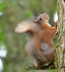 Red Squirrel (KHR Images) Tags: redsquirrel sciurusvulgaris native rodent mammal wild dumfriesandgalloway scotland woodland forest nature wildlife nikon d500 kevinrobson khrimages