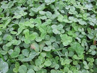 clover dew