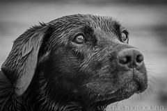 Black Lab (sidrog28) Tags: dog lab uk nikon d7100 70300 blackandwhite black white eary wet
